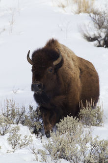 Bison Traveling through deep snow