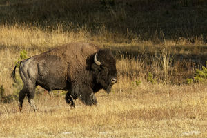 Bison,Yellowstone National Park, Montana/Wyoming