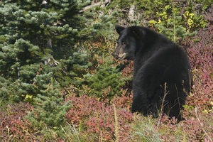Black Bear; Autmn Huckle Berries