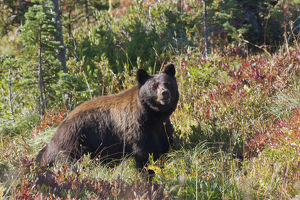 Black Bear, autum berry country