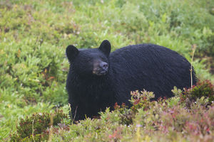 Black Bear, autumn rain