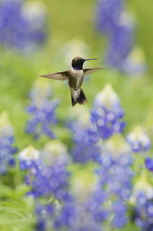 Black-chinned Hummingbird (Archilochus alexandri), adult male flying among blooming