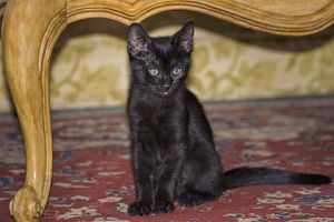 Black Kitten sitting on rug