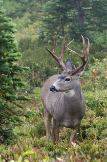 Black-tail Deer Buck