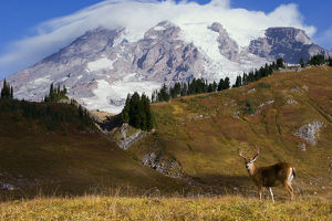 Black-tail Deer Buck; Mount Rainier