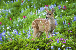 Black-tail Deer Fan; Cascade Wildflowers