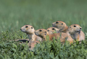 Black-tailed prairie dog (Cynomys ludovicianus) group on the lookout, Theodore Roosevelt
