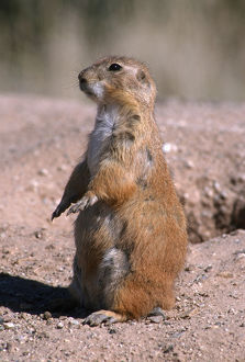 Black-tailed prairie dog (Cynomys ludovicianus) standing, Badlands National Park