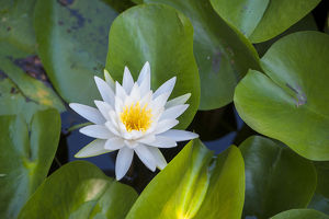 Blooming water lily, Austin, Texas, USA