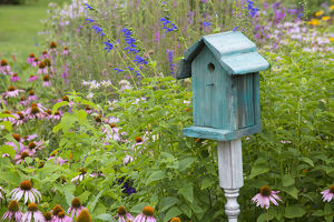 Blue birdhouse in flower garden with Purple Coneflowers and salvias, Marion Co., IL