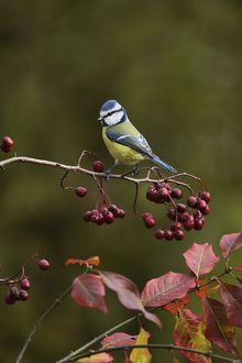 Blue Tit (Parus caeruleus), adult perched on berry laden branch of European cranberrybush