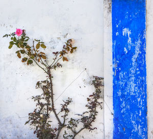 Blue White Wall Pink Rose Street Medieval Town Obidos Portugal