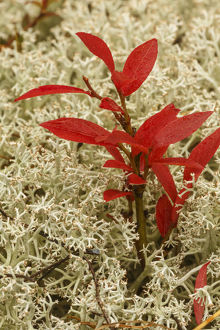 Blueberry foliage among Reindeer Moss, Cladonia rangiferina, Pictured Rocks National