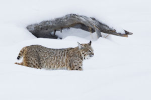 Bobcat; Hunting in Deep Snow