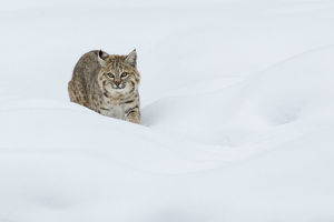 Bobcat; Stalking in deep snow