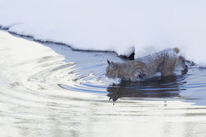 Bobcat; a winter river crossing