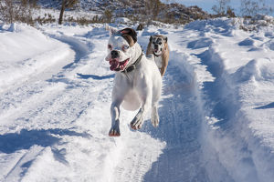 Boxers running in snow, California