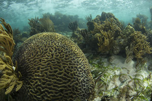 A brain coral is seen as part of a coral outgrowth in shallow blue water off the