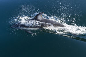 British Columbia. Pacific white-sided dolphins (Lagenorhynchus obliquidens) play