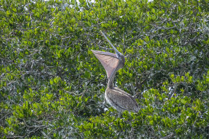 Brown Pelican on rookery, New Smyrna Beach, Florida, USA