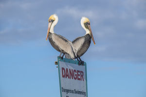 Brown Pelicans perched on sign, New Smyrna Beach, Florida, USA