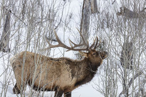 Bull elk feeding on branches during long winter in Yellowstone National Park, Wyoming