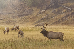 Bull Elk with females on foggy morning along Madison River, Yellowstone National Park