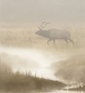 Bull Elk on foggy morning along Madison River, Yellowstone National Park, Montana/Wyoming