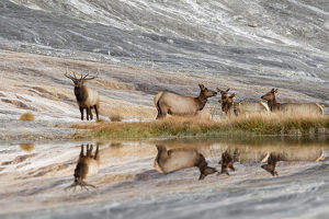 Bull Elk and herd of females and reflection, Canary Spring, Yellowstone National Park