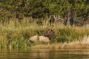 Bull Elk along Madison River, Yellowstone National Park, Montana/Wyoming