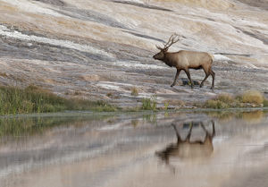 Bull Elk reflecting on pond at base of Canary Spring, Yellowstone National Park