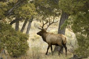 Bull Elk, Yellowstone
