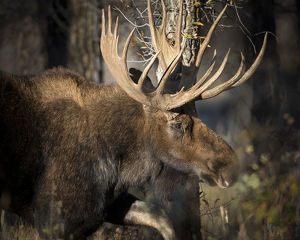 Bull Shiras Moose, Alces alces sherasi, Gros Ventre, Grand Tetons, Wyoming, wild