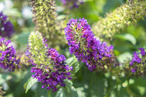 Butterfly Bush, Round Top, Texas, USA
