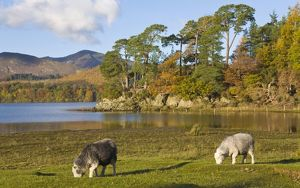 Herdwick sheep at Friars Crag, Derwentwater, Lake District, Cumbria, England