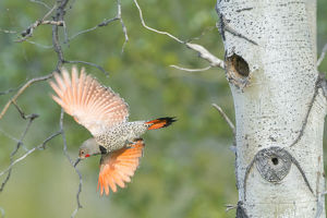 Canada, British Columbia. Adult male Northern Flicker (Colaptes auratus) flies