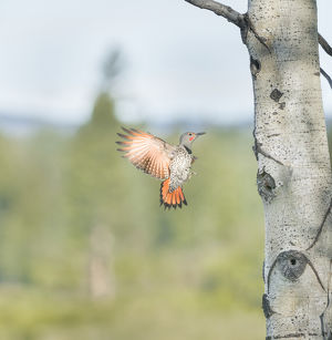 Canada, British Columbia. Adult male Northern Flicker (Colaptes auratus) flies to
