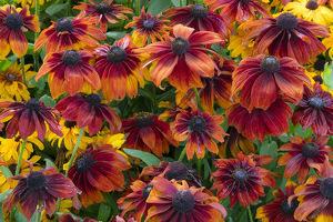 Canada, British Columbia, Chetwynd. Close-up of rudbeckia flowers