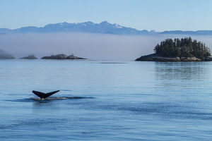 Canada, British Columbia. Humpback whale's tale as it dives in the waters of