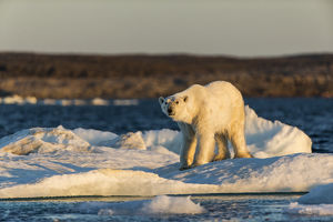 Canada, Nunavut Territory, Adult male Polar Bear (Ursus maritimus) yawns while standing
