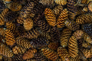 Canada, Yukon Territory, Kluane National Park. Close-up of spruce cones. Credit as