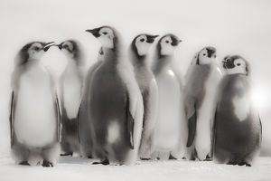 Cape Washington, Antarctica. Emperor Penguin Chicks standing in formation