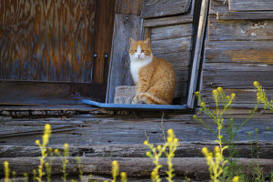 Cat (Felis catus) sitting on porch of old house