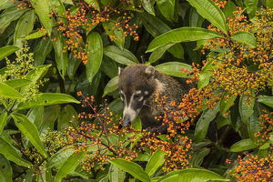 Central America, Costa Rica, Arenal. Coatimundi eating berries