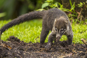 Central America, Costa Rica, Arenal. Coatimundi close-up