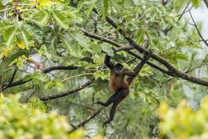 Central America, Costa Rica, Arenal. Spider monkey in tree