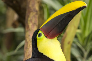 Central America, Costa Rica. Black-mandibled toucan