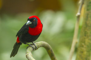 Central America, Costa Rica, Sarapiqui River Valley. Crimson-collared tanager on limb
