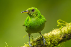 Central America, Costa Rica, Sarapiqui River Valley. Green honeycreeper bird on limb