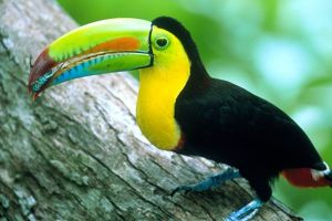 CENTRAL AMERICA, Panama, Borro Colorado Island Keel billed toucan (Ramphastos sulfurtus)